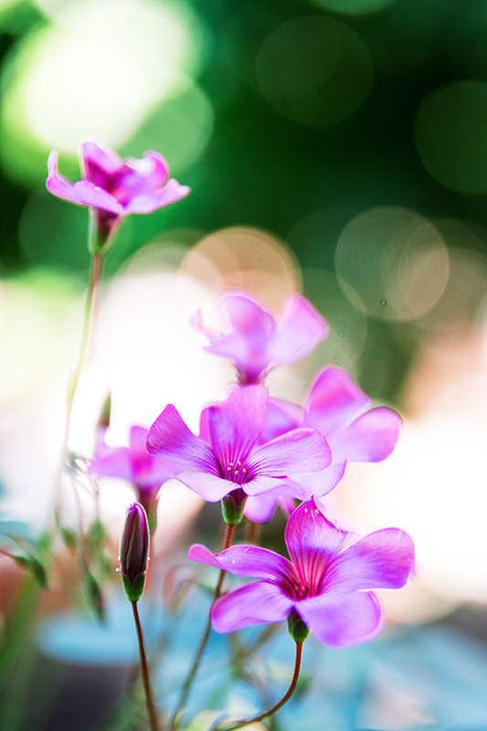 Trifoglio fiorito